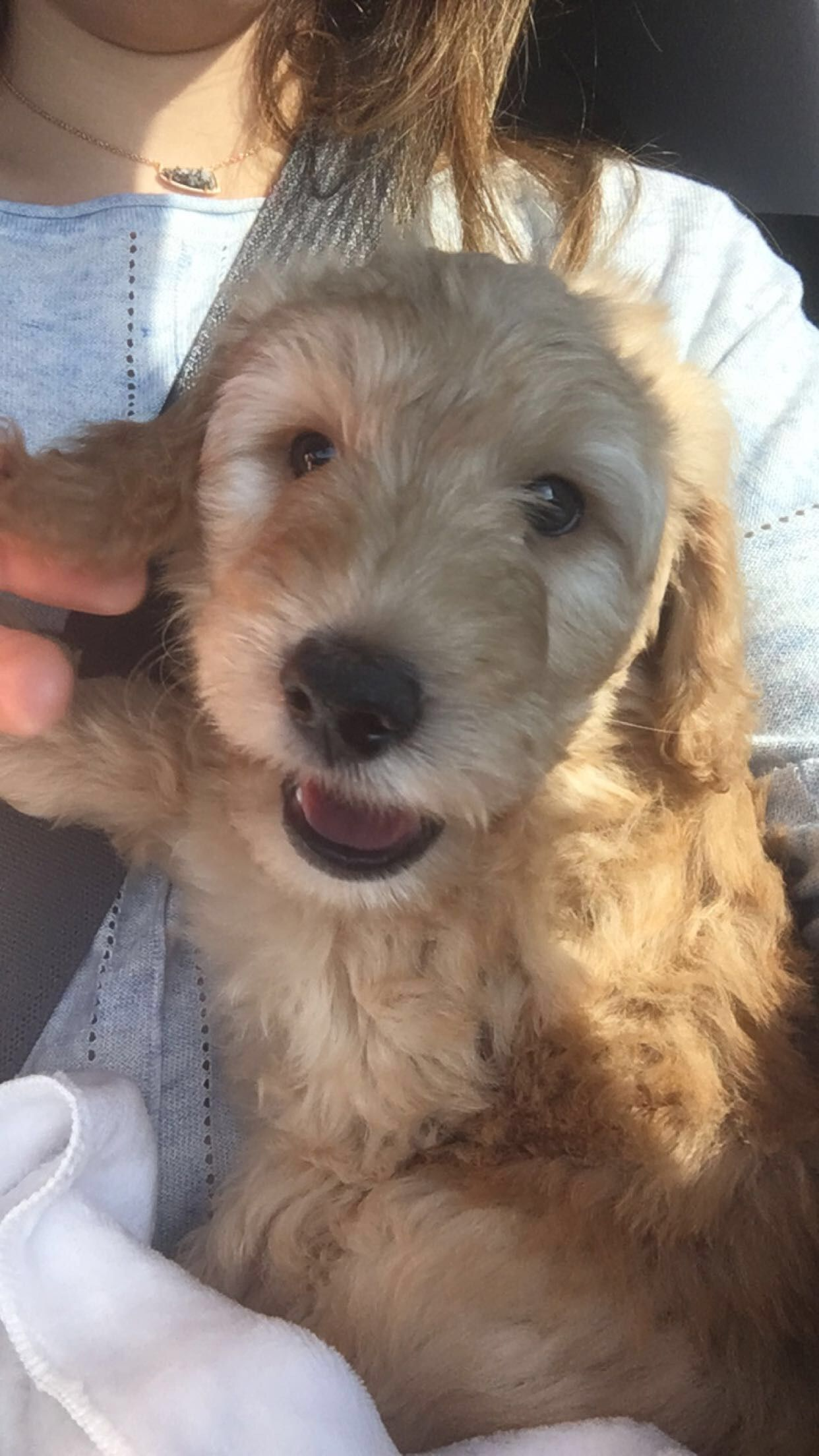Dakota The 8 Week Old F1b Labradoodle Pup On The Road To His New