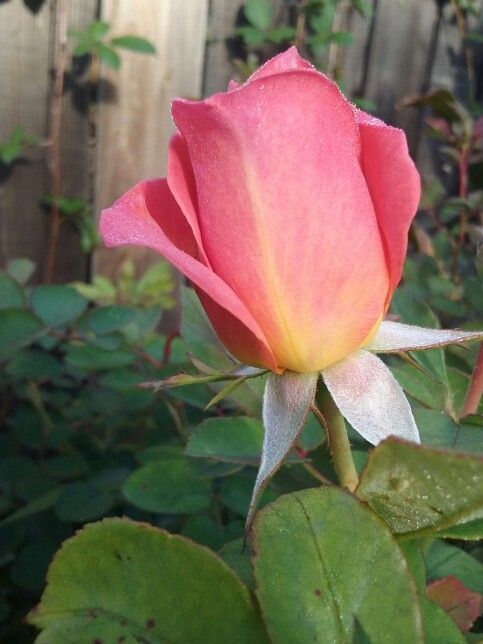 Beautiful Pink Rose