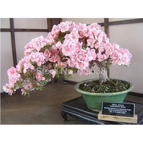Rare Japanese Sakura Seeds Cherry Blossom Seeds Bonsai Plants For Home Garden Bonsai Plants Blossom Trees Bonsai Tree Types