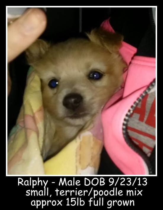 Adopt Nj Ralphy On Poodle Mix Puppies Terrier Poodle Mix Poodle Mix Dogs