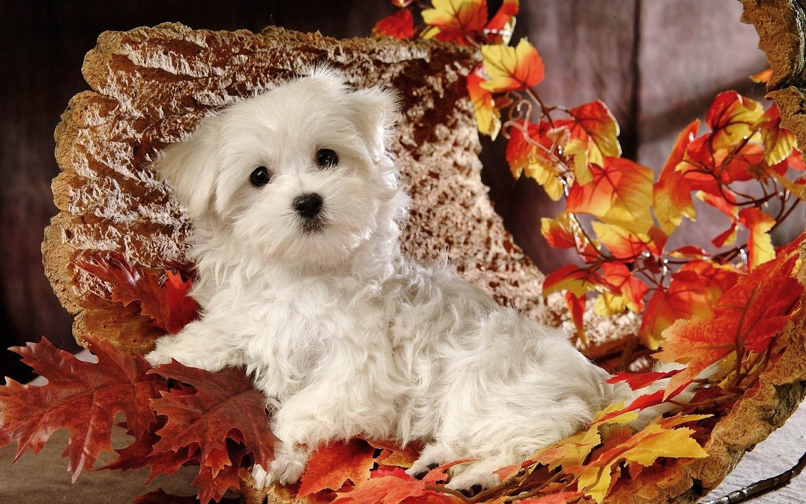 Hd Autumn Wallpaper With Cute Maltese Dog With Autumn Leaves Hd