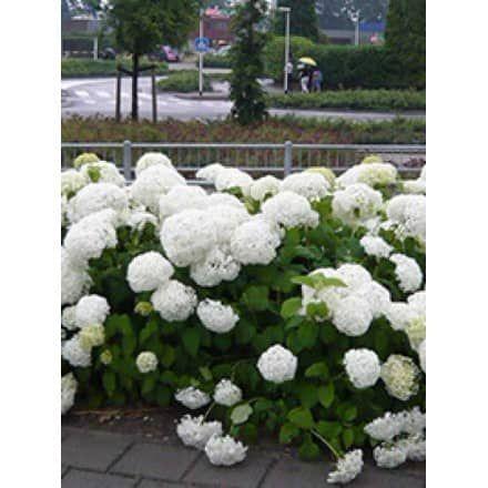 Hortensie Annabell hydrangea arborescens annabelle schneeball hortensie annabelle