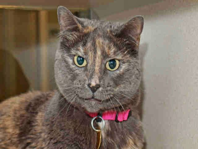 Fur Everywhere Opt To Adopt Fiona Cat Adoption Dog Adoption Denver Dumb Friends League