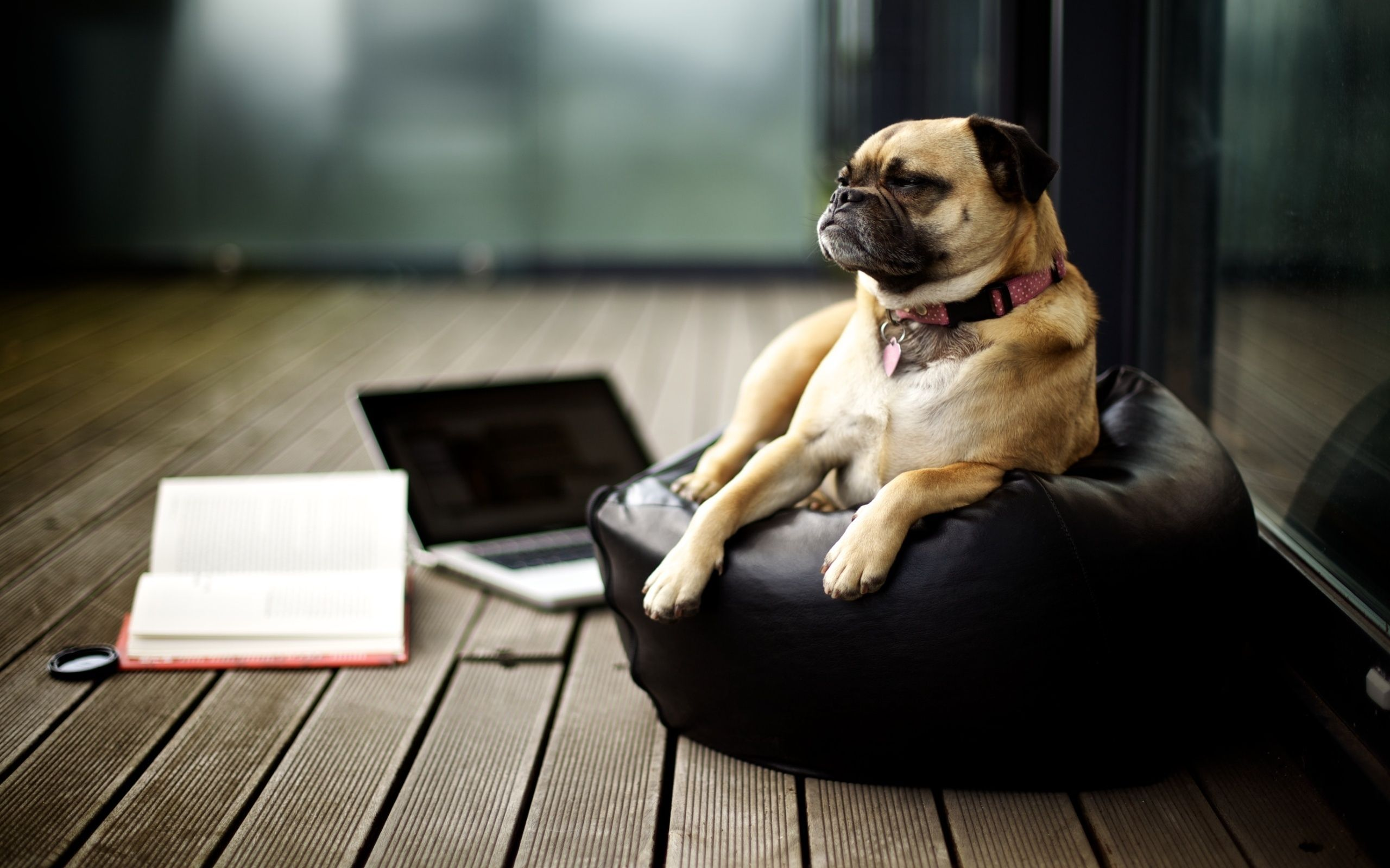 Working From Home Pug Wallpaper Cute Dogs Pug Dog