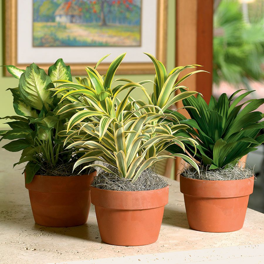 Decorate with Dracaena Costa Farms Indoor plants india