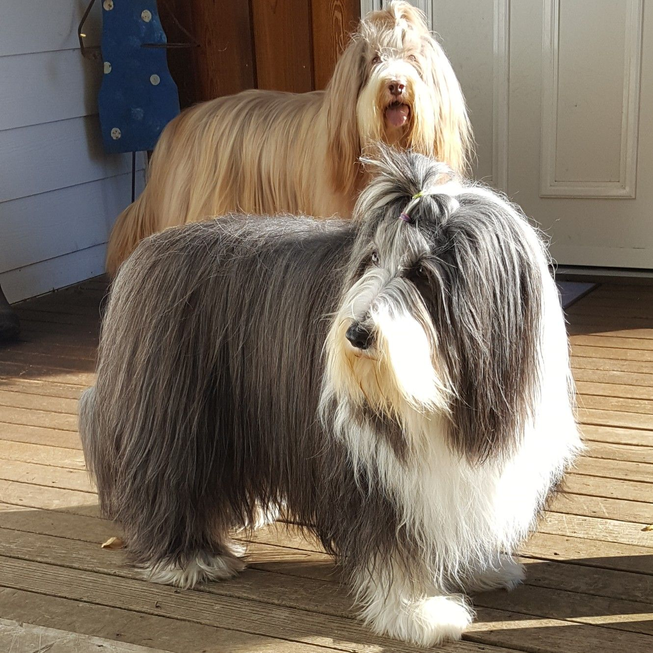 Keely And Miles Spa Day Bearded Collie Old English Sheepdog