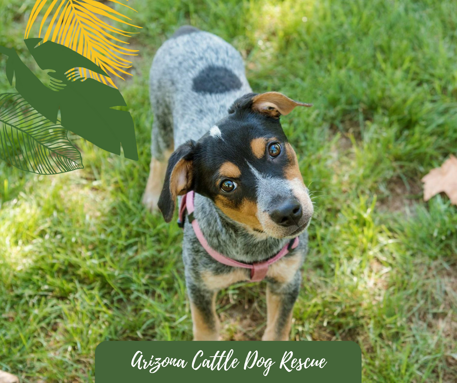 Cattle Dog, Dogs, Rescue Dogs