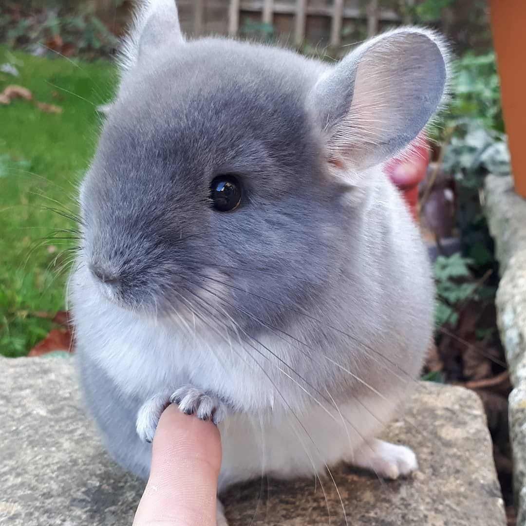 8 Absolutely Adorable Chinchilla Aww Chinchillas Absolutely