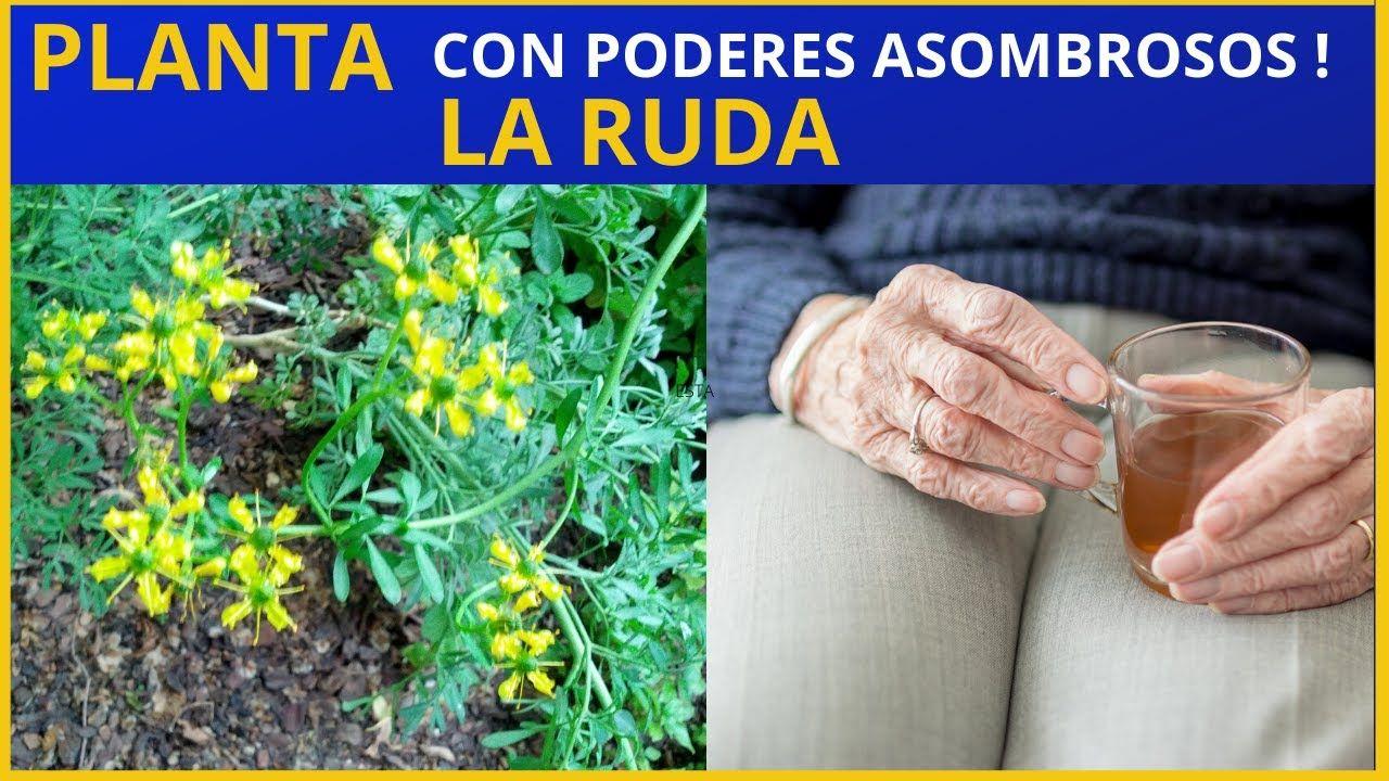 Para Que Sirve La Ruda Como Planta Medicinal Plantasmedicinales Ruda Te De Ruda Plantas Medicinales Plantas