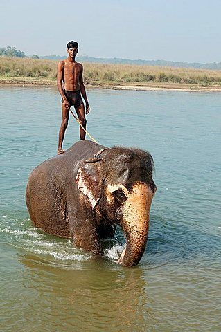 Asian elephant and mahout trainer in the Rapti River in Chitwan National Park…