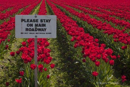 Skagit Valley Tulip Festival purple   T-shirt flower fields