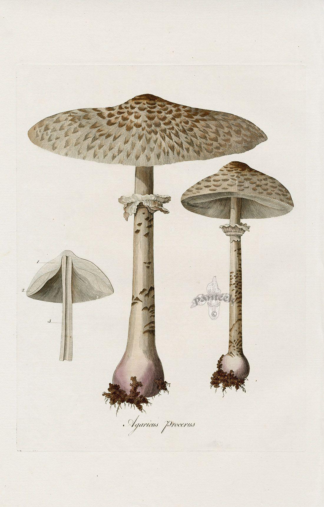 Agaricus procerus mushroom from Curtis Flora Londinensis ...
