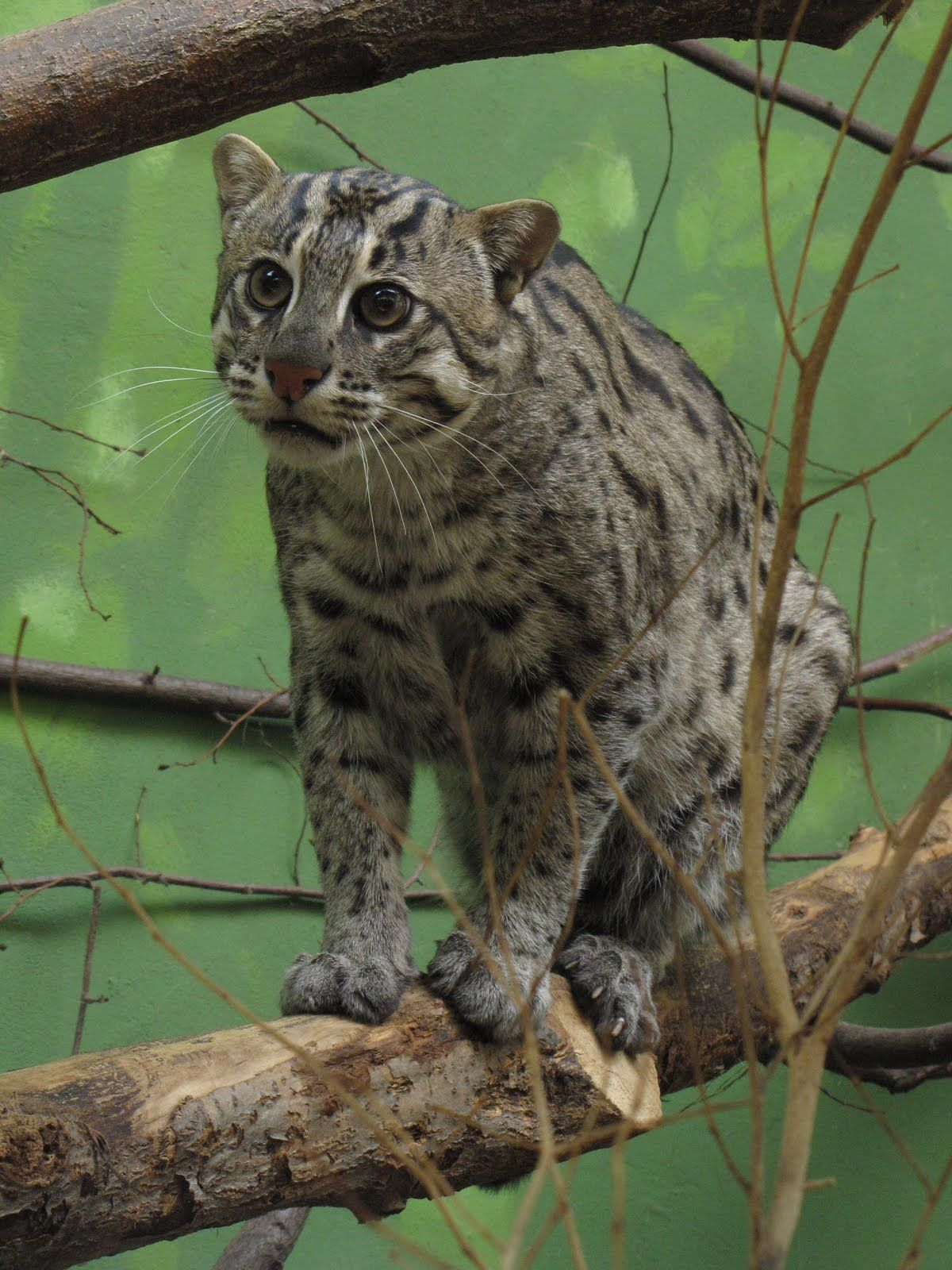 The endangered fishing cat of Southeast Asia Wild cat