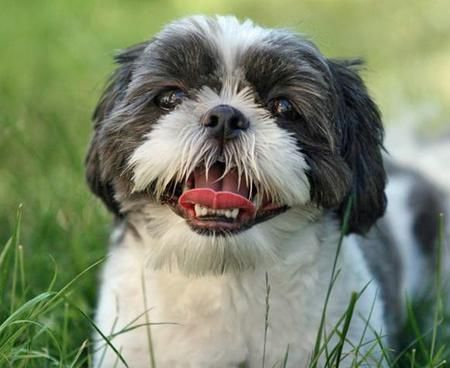 Shih Tzu S Especially My Shih Tzu After Walking From My Front