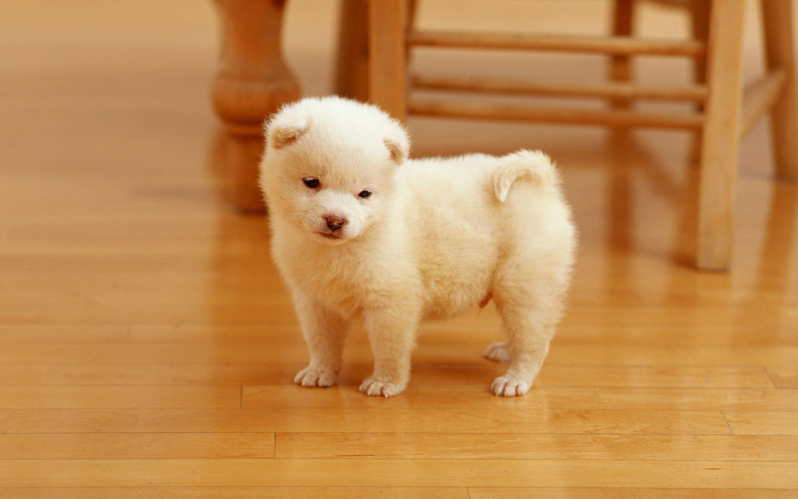White Cute Puppy 2560x1600 Wallpaper Very Cute Puppies Cute Dogs Puppies Cute Dog Wallpaper