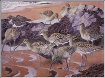 Curlews And Turnstones - Charles Tunnicliffe