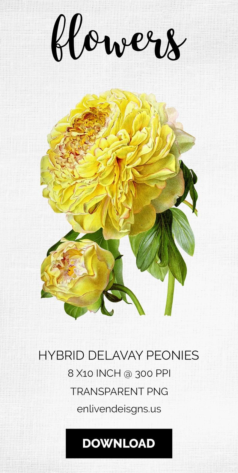 9752fdb5d773f Peonies Hybrid Delavay Yellow Flower Clip Art Printable Art | Do you need  realistic vintage iris