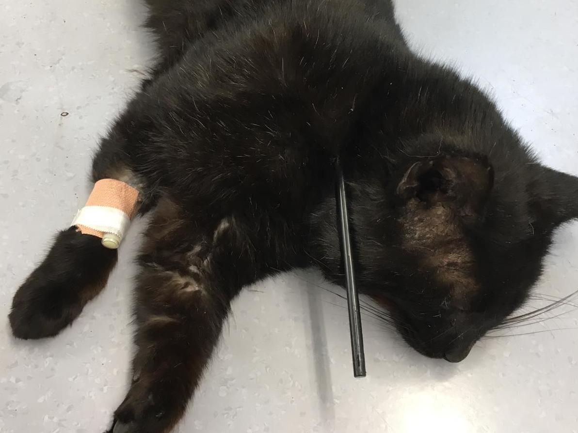 Cat Shot With Crossbow Arrow In Sickening Attack With Images Cat Shots Cat And Dog Videos Funny Cat Fails