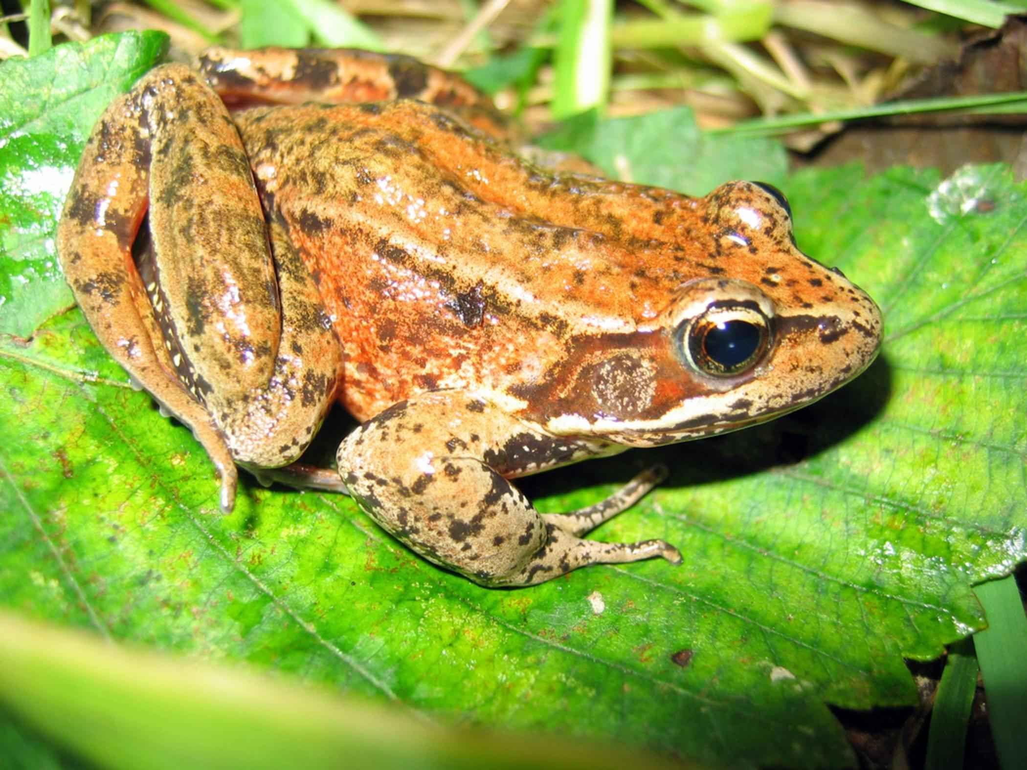 northern red legged frog rana aurora amphibia royalty free stock