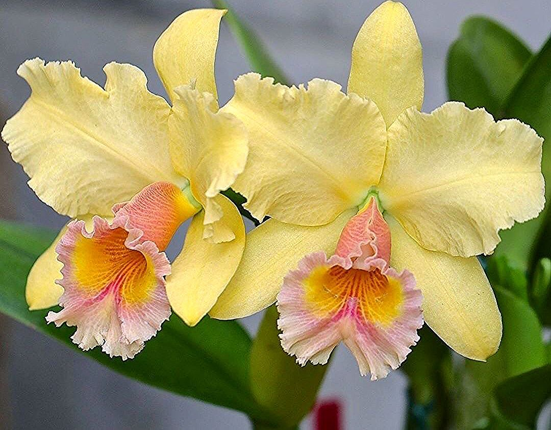 Cattleya Orchid Yellow In 2020 Chinese Painting Flowers Cattleya Orchid Peony Painting