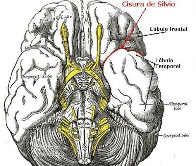 Resultados De La Busqueda De Imagenes Cisura Silvio Brain Illustration Illustration Brain Anatomy