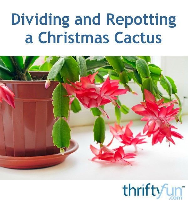 Dividing and Repotting a Christmas Cactus Gardening Pinterest