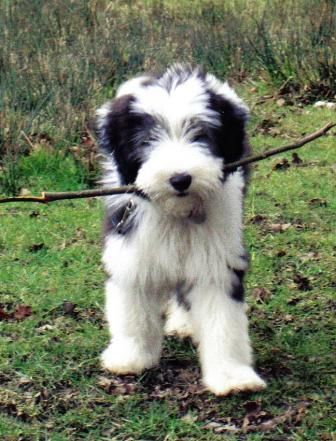 Bearded Collie Puppies For Pets