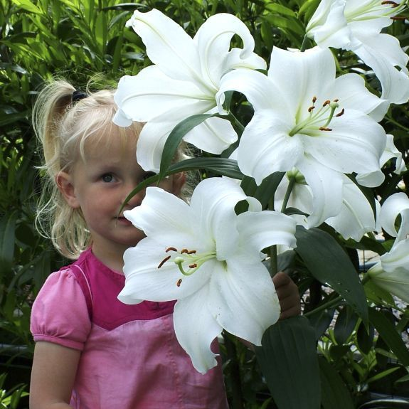Holy Smokes These Grow Huge Lily Casablanca Casablanca