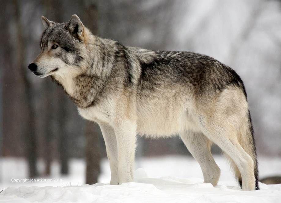 картинка волка во весь рост