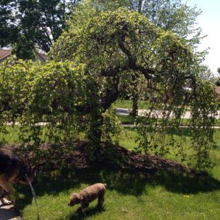 Striking neighborhood tree