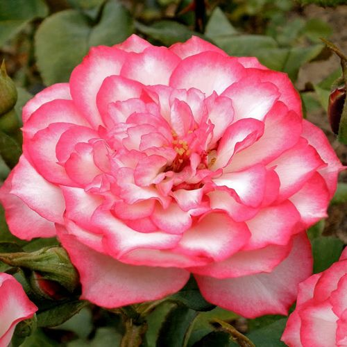 Rasberry Ice Roses All At The Wairere Nursery Online Shop With Images Rose Beautiful Roses Ornamental Trees