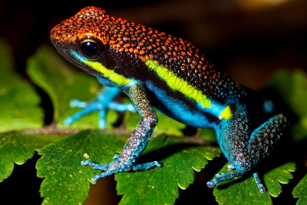 Poison Arrow Frog Ameerega Macero Rainforest Animals Poison