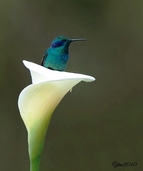 Humming bird and Calla lily