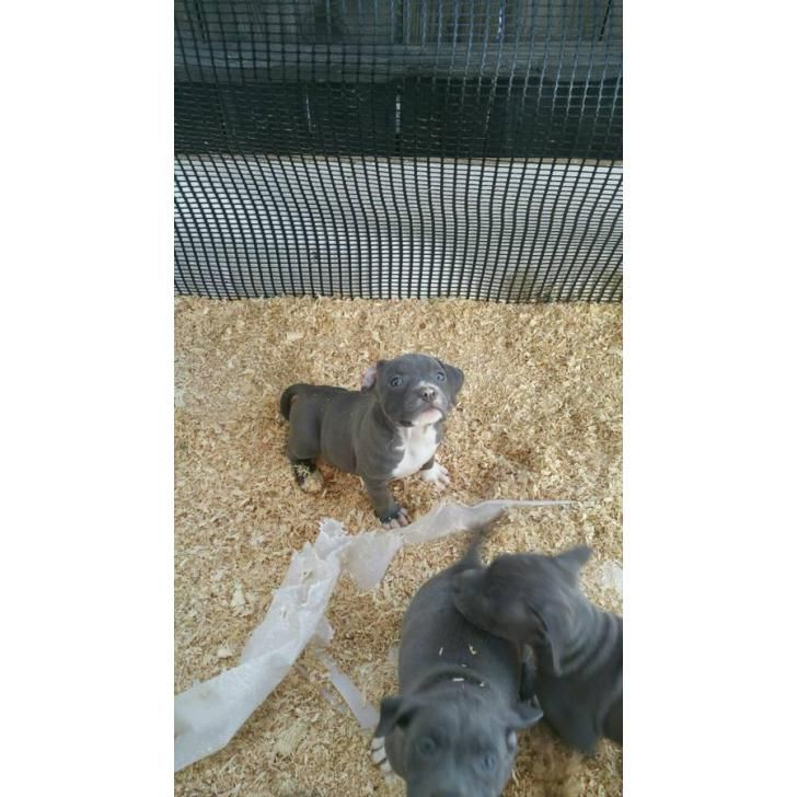Purebred Blue Nose Pitbull Puppies Pitbull Puppies For Sale