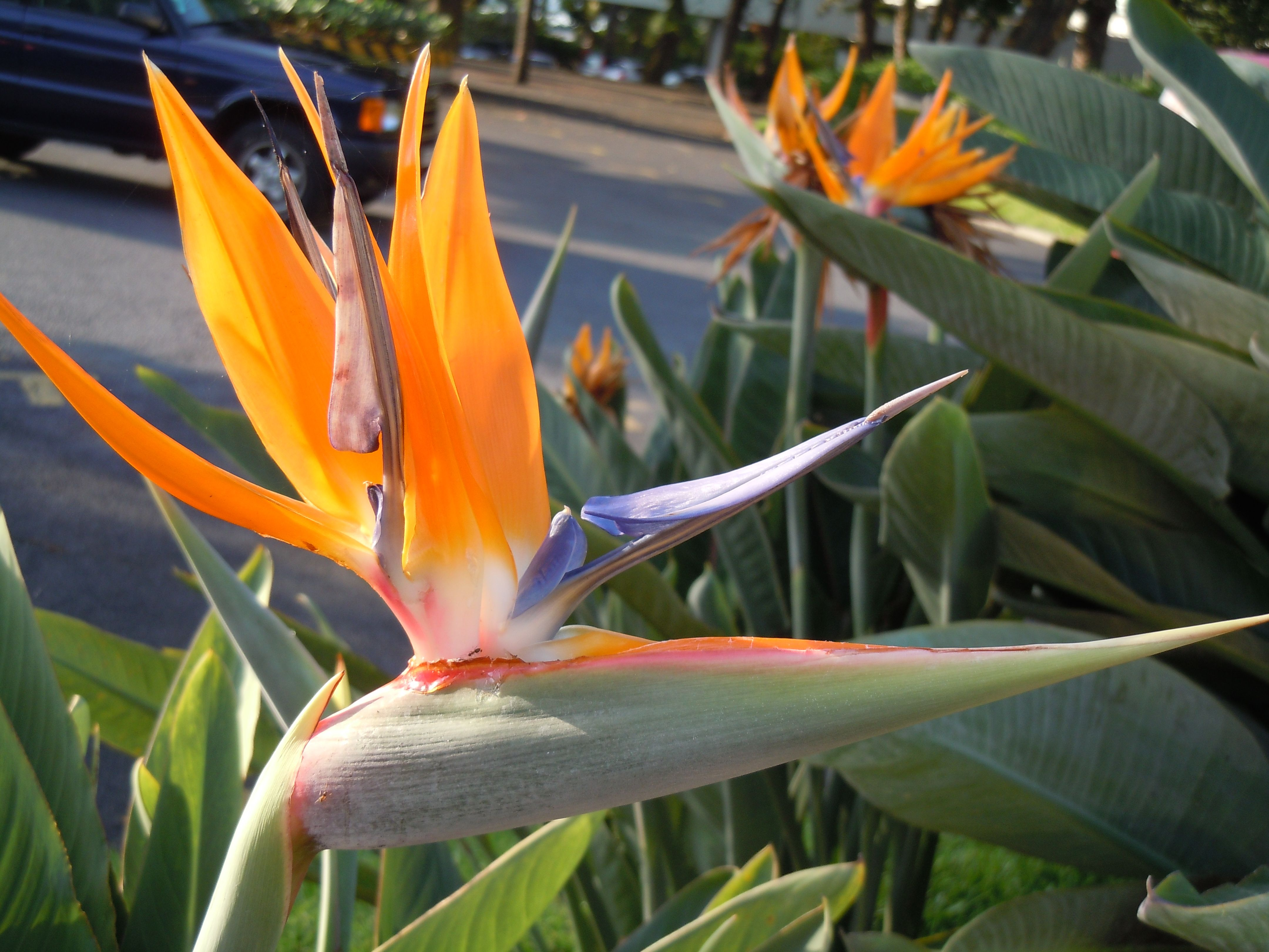Madeira With Images Plants Flowers Birds Of Paradise