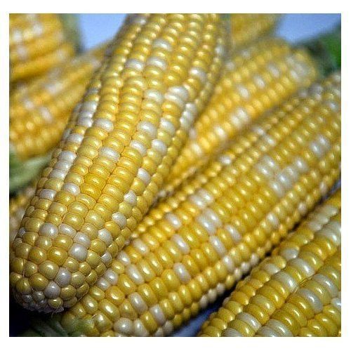 1 lb Seeds NON GMO Bi-Color Cobs BUTTER /& SUGAR Sweet Corn Seeds BULK