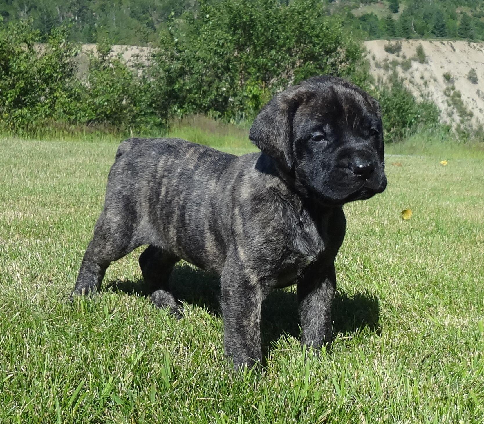 McIlmoyle Mastiffs | Mastiff breeders in Interior BC ...