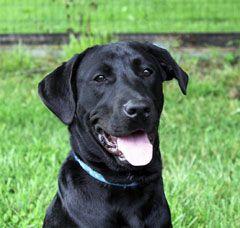 Adopt Denzel On Labrador Retriever Dog Labrador Retriever Dog