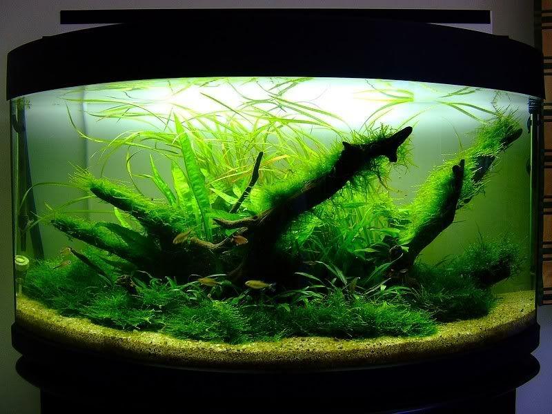70L planted aquarium - Aquascaping - Aquatic Plant Central