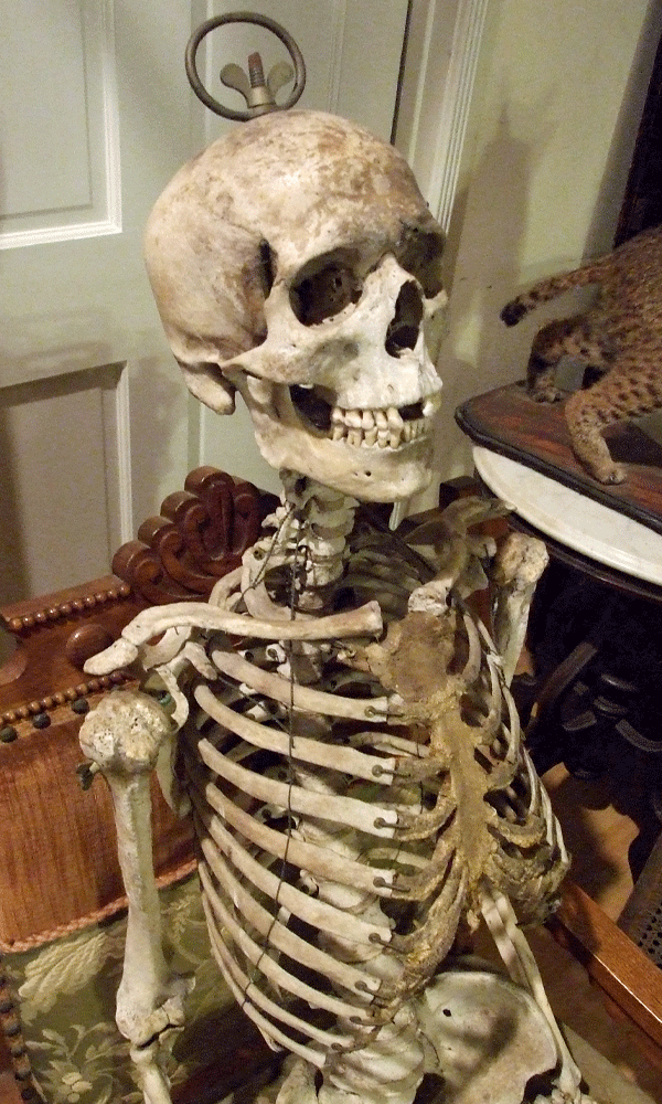 pandora's parlor: antique victorian real human medical skeleton, Skeleton