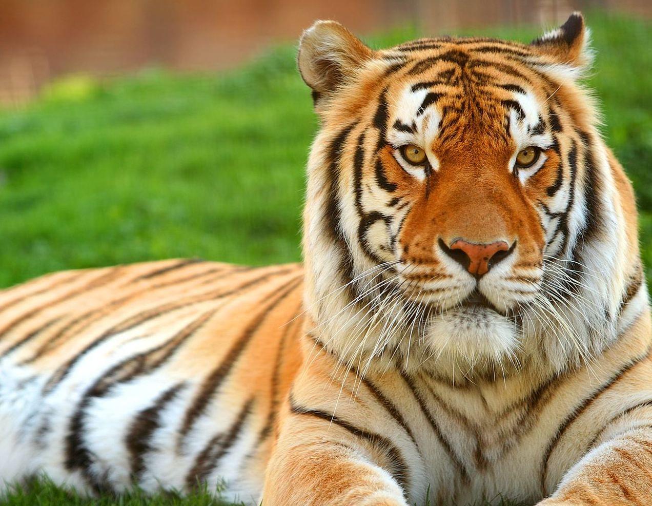 Free Tiger Wallpaper Desktop Tiger Wallpapers Hd Tiger Wallpaper Tiger Pictures Pet Tiger