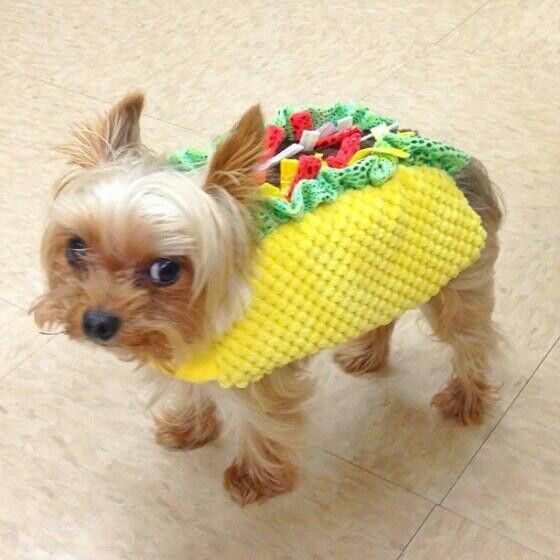 Yorkie Taco Ok This Lil One Does Not Look Happy To Be Wearing