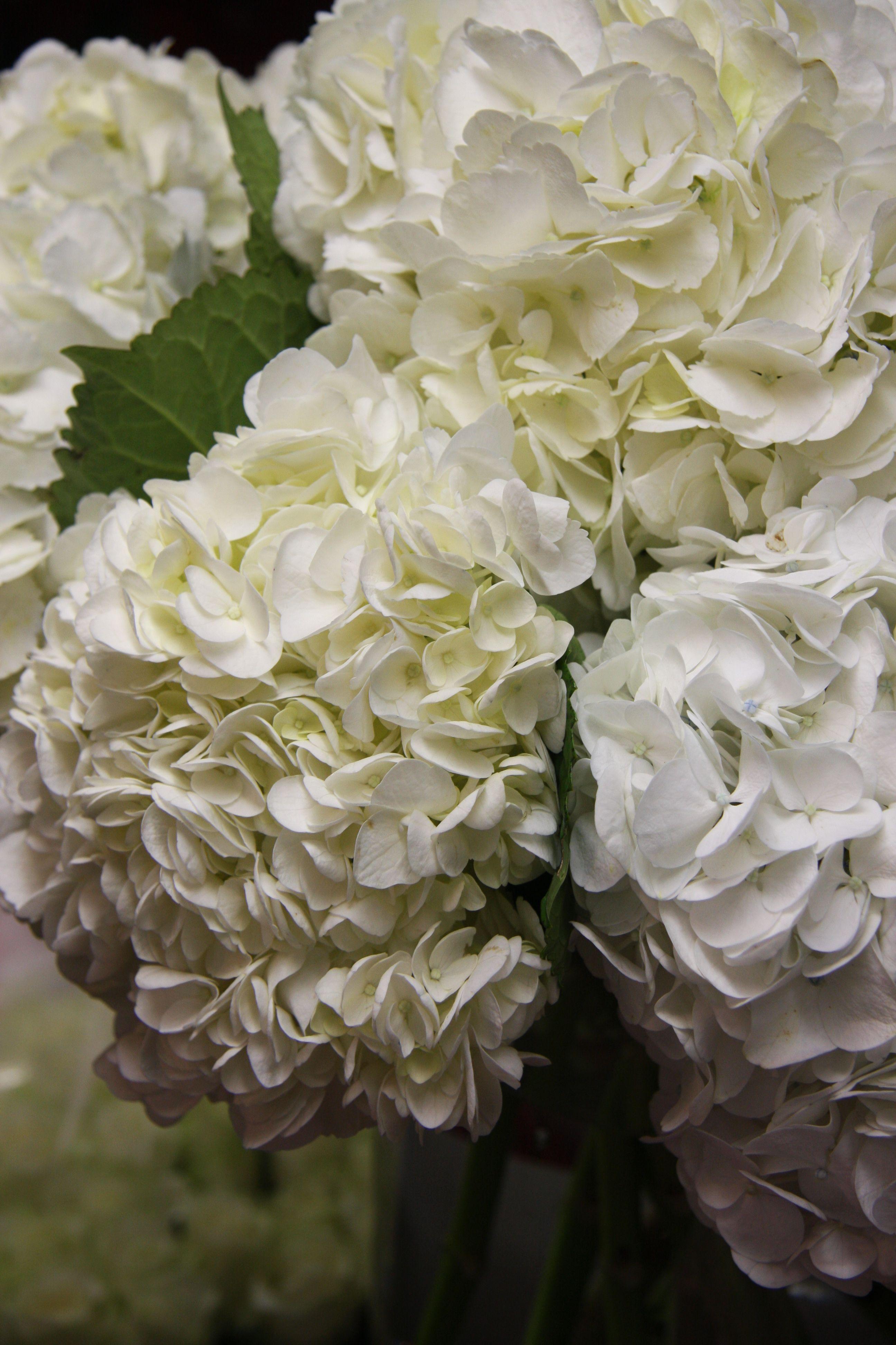 White Hydrangea B C Cottge Pinterest Hydrangea Flowers And