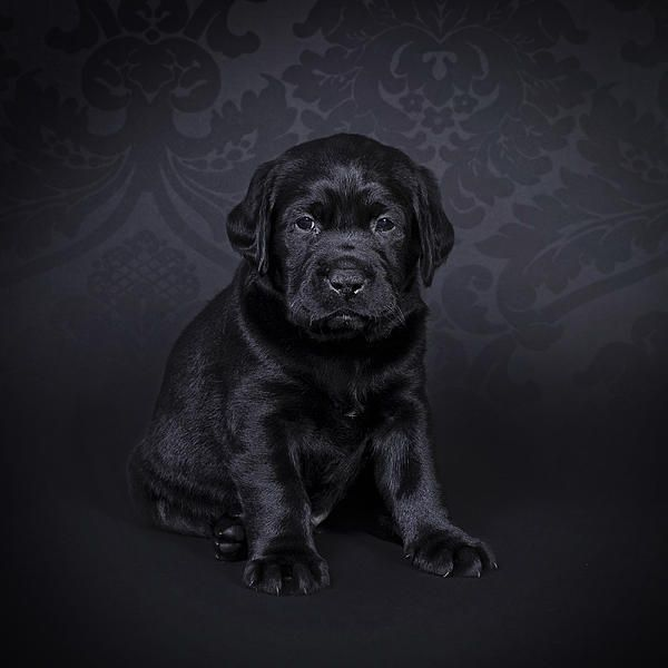 Labrador Retriever Puppy By Waldek Dabrowski Labrador Retriever Labrador Retriever Puppies Labrador