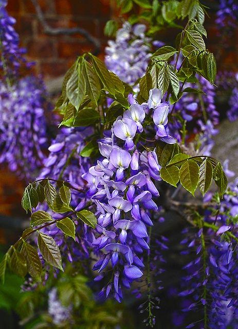 I Love Wisteria Wisteria Beautiful Flowers Lilac Flowers