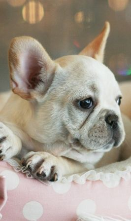 Flora The French Bulldog Puppies For Sale Frenchbulldog Frenchy