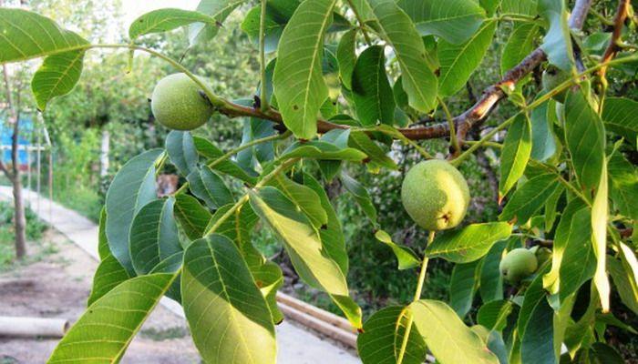«Изящный» - дерево высотой 4-5 м, с широкой овальной ...