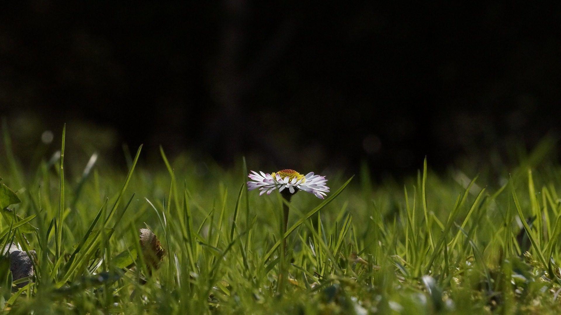 margarita, flor, campo, pétalos, hierba, solitaria, 1702081042