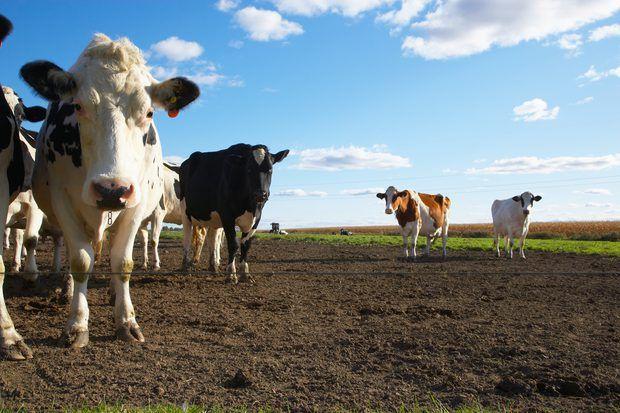 La diferencia entre el sistema digestivo humano y el de las vacas