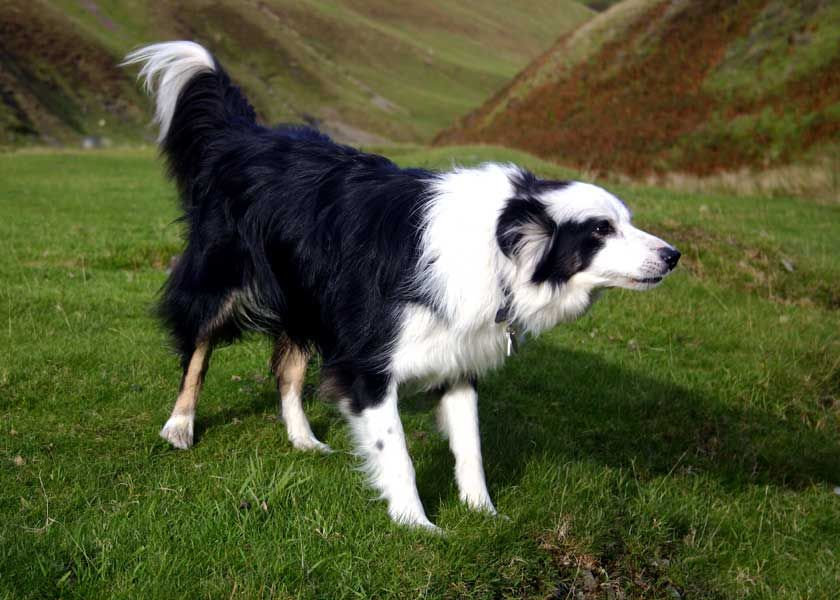 Border Collier Border Collie The Life Of Animals Dog Life